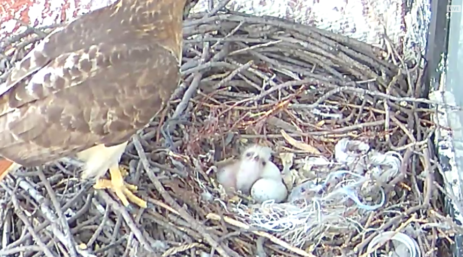 The NYU Hawk Cam shows a pair of red-tailed hawks overlooking Washington Square Park in their nest on Bobst Library. The eggs in the nest have recently hatched.