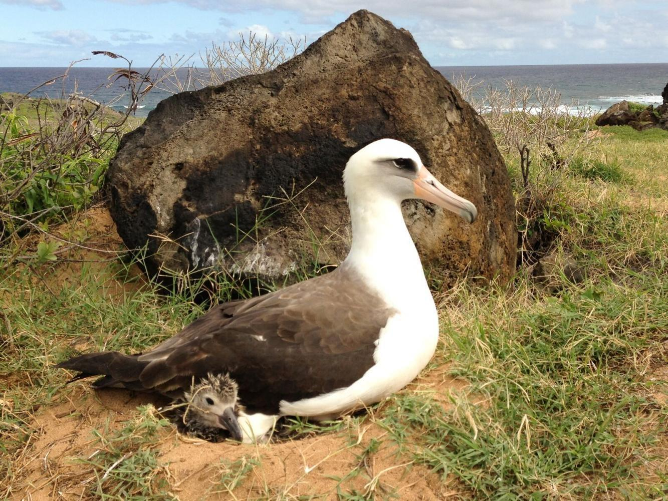 The+Laysan+albatross%2C+a+federally+protected+species%2C+with+its+chick+at+the+Kaena+Point+Natural+Area+Reserve+in+Hawaii.+