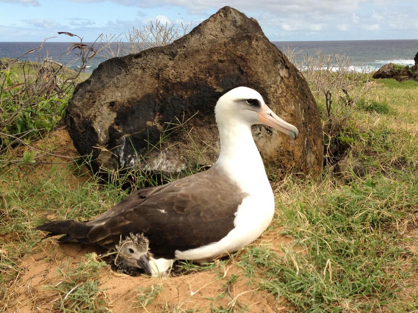 The Laysan albatross, a federally protected species, with its chick at the Kaena Point Natural Area Reserve in Hawaii.