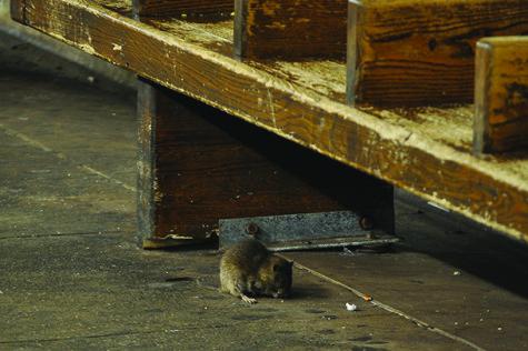 Rat infestation rises in New York City post-Sandy