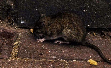 Mischiefs of Rats Live in New York City