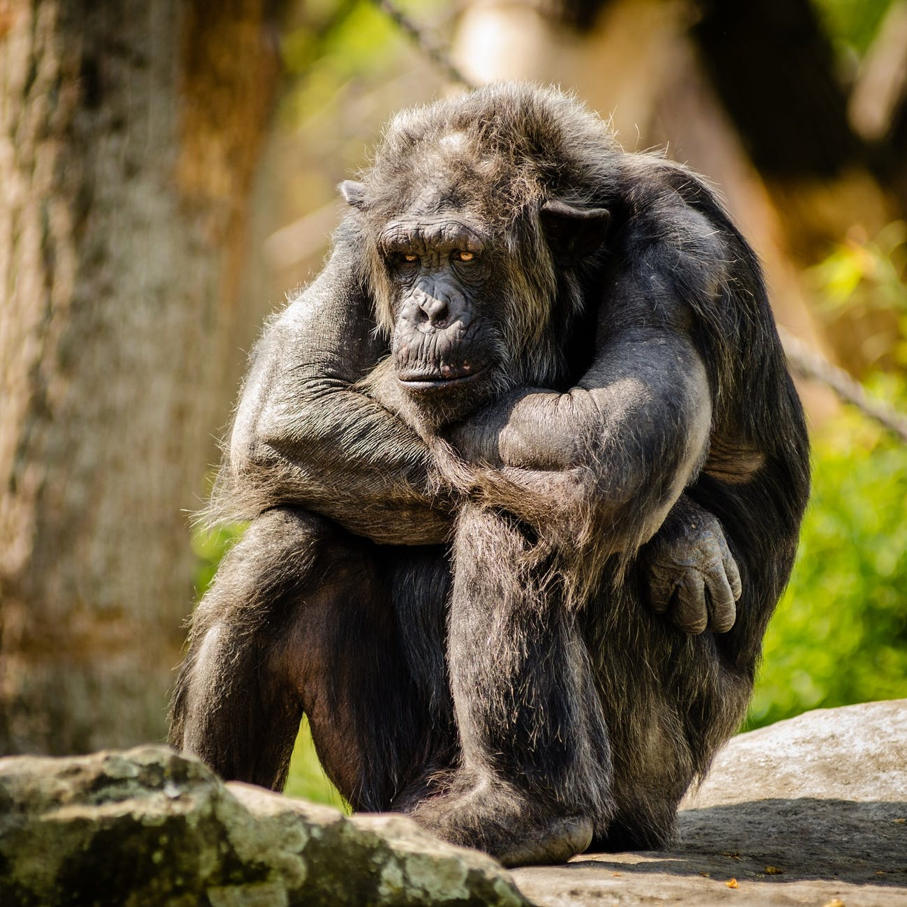 """NYU Professor Jeff Sebo believes that chimpanzees deserve to be classified under the law as more than just """"things"""" because of features they possess """"such as conscious experience which are widely shared on the phylogenetic tree, which many non-human animals have, independently of how intelligent they happen to be or how similar to humans they happen to be."""""""